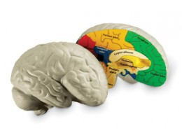 Cross-Section Brain Model