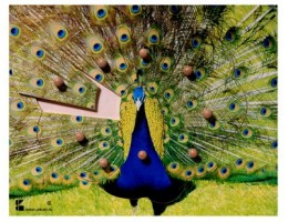 Peacock Puzzle**