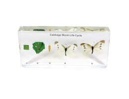 Life Cycle - Cabbageworm