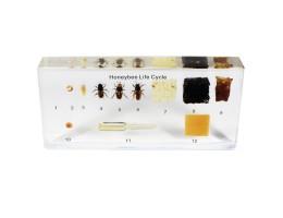 Life Cycle - Honeybee