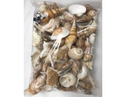 Large Indian Mix Seashells